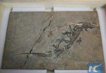 แคนาดาส่งคืนฟอสซิลอายุกว่า 200 ล้านปีที่เคยถูกลักลอบออกไปจากจีน