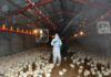 ระบาดหนัก! ไข้หวัดนกฆ่าไก่ในกิฟุ ไปกว่า 8 หมื่นตัว
