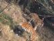 ชายจีนแอบปีนกำแพงเข้าสวนสัตว์ ถูกเสือกัดเสียชีวิต เจ้าหน้าที่ยิงเสือดับ