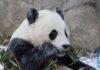 """""""เป๋าเป่า"""" แพนด้ายักษ์ในสหรัฐฯเตรียมกลับประเทศจีน"""